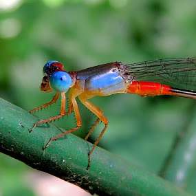 Damselfly by  Priyanka Das - Animals Insects & Spiders (  )