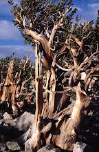 Photo: Bristlecone Pine, Great Basin National Park, Snake Range, Nevada