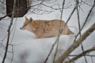 Photo: Coyote pushing through snow.