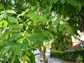 Photo: Hojas pinnado-compuestas de falsa acacia
