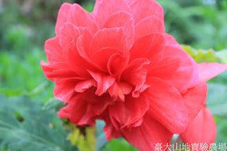 Photo: 拍攝地點: 梅峰-溫帶花卉區 拍攝植物: 球根秋海棠 拍攝日期: 2015_09_07_FY