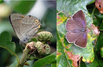 Photo: Purple Hairstreak.