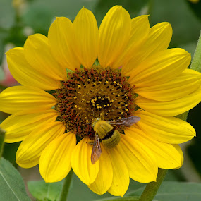 Sun Flower by Umair Nayab - Flowers Single Flower ( bee, greenery, sun flower, yellow,  )