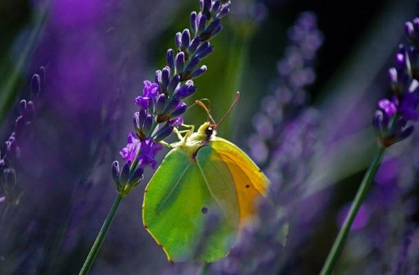Papillon di babi83