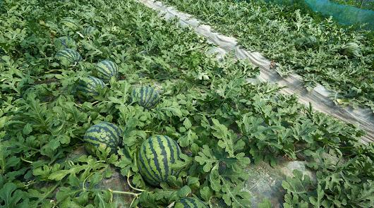 El alto valor de las hortalizas retrasa la plantación de sandía
