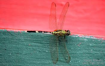 Photo: Dragonfly, Bali, Indonesia