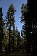 Photo: Giant Sequoia