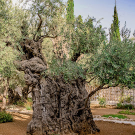 I was here with Jesus by William Stansbury - Nature Up Close Trees & Bushes ( jesus, israel, olive tree, tree, garden of gesemane, ancient tree,  )