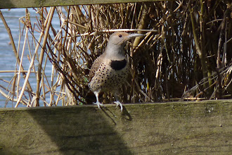 Photo: Female Red-shafted Northern Flicker.