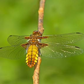 Female Broad Bodied Chaser Dragonfly by Louise Morris - Animals Insects & Spiders ( broad bodied chaser, female, june 2012, dragonfly )