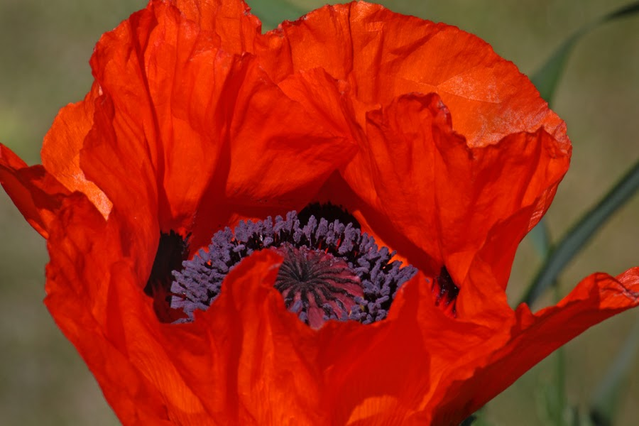 Poppy by David Short - Nature Up Close Flowers - 2011-2013 ( red, poppy, flower )