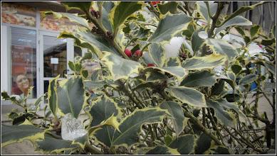 "Photo: Laur (Ilex aquifolium) de pe Calea Victoriei, spatiu verde zona ""Materna"" - 2018.03.22"