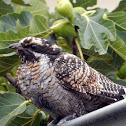 Eastern Koel (Juvenile)