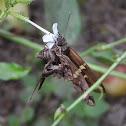 Zilpa longtail