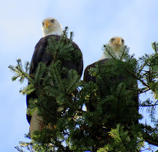 Photo: The pair of Bald Eagles on a favourite perch on top of the twin Fir trees above the hatchery