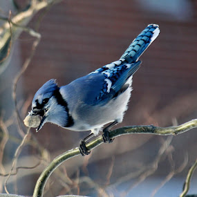 I got it! by Nancy Daugherty - Animals Birds ( blue jay, birds )