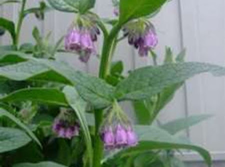 Comfrey Healing salve for skin Recipe