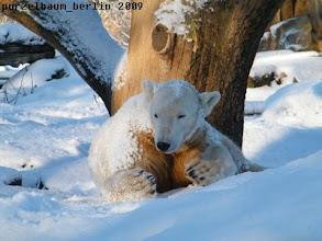 Photo: Knut geniesst den frischen Schnee :-)