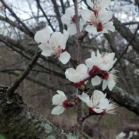 Cherry  Blossom by Catherine Dulaney ( Johns)  - Nature Up Close Flowers - 2011-2013 ( trees, flowers, branches )