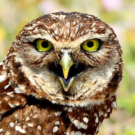 Mrs. Burrowing Owl by Ruth Overmyer - Animals Birds (  )