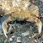 Oregon shore crab