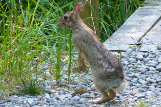 Photo: Rabbit eating Canary Grass