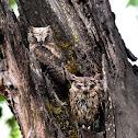 Owl - Collared Scops Owl