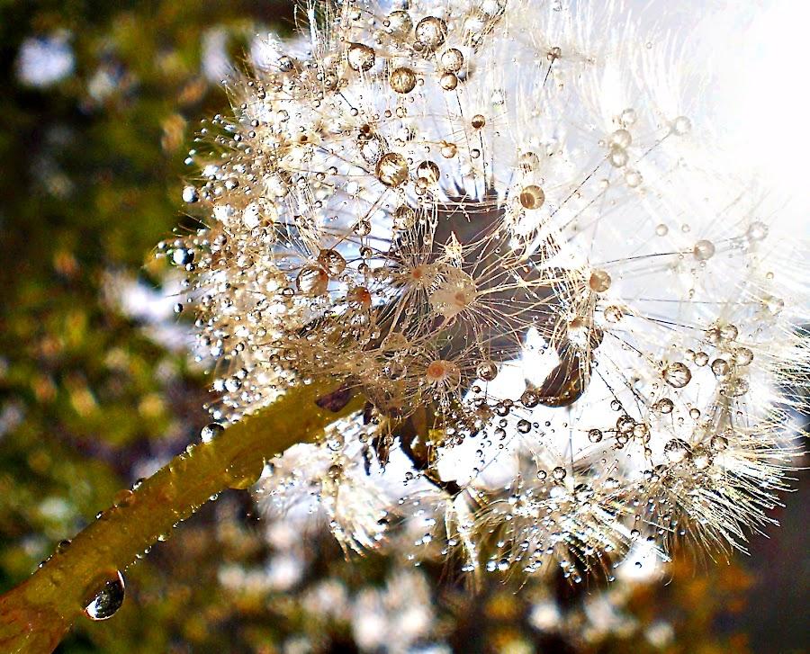Illuminated by the Sun - Dandelion On the Rain by Marija Jilek - Nature Up Close Other plants ( olive green, dandelion, nature, white, plants, drops, brown, sun, rain )