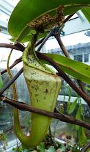 Photo: Nepenthes eymae x clipeata (Hybride von Hrn. Debbert, München)