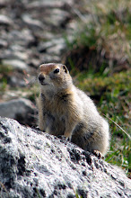 Photo: Arctic Ground Squirrel