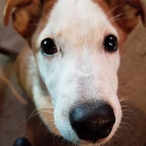 Wee Willie Winkie by Ingrid Bjork - Animals - Dogs Portraits ( portrait, dog,  )