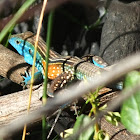 Rainbow Whiptail Male