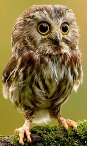 Lwp 可爱猫头鹰