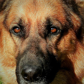 A look of love by Sue Delia - Animals - Dogs Portraits ( love, face, german shepherd, soft,  )