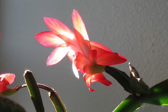 Photo: Christmas cactus; indoors 05/06