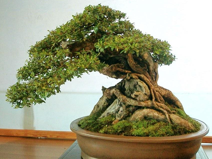 La belleza y simpleza es caracterizada por una de las manifestaciones más relajantes, el Bonsai.