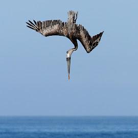 Je plonge by Gérard CHATENET - Animals Birds