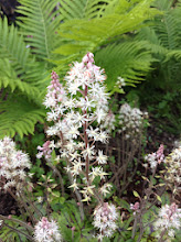 Photo: Foamflower: Tiarella spp. Tiarella or foamflowers are native to the woodlands of North America and eastern Asia.  They are small plants with slightly hairy heart-shaped leaves that form clumps or spread by runners to make patches.
