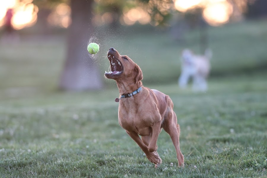 Spinner by Peter M  - Animals - Dogs Playing ( canon, red lab.labrador, chicago, lab )