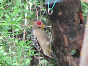 Photo: Golden Fronted Woodpecker