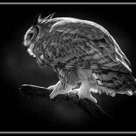 Great Horned Owl by Dawn Hoehn Hagler - Digital Art Animals ( arizona-sonora desert museum, tucson, owl, arizona, bird, desert museum, great horned owl, photoshop, oil paint, black and white, digital art )
