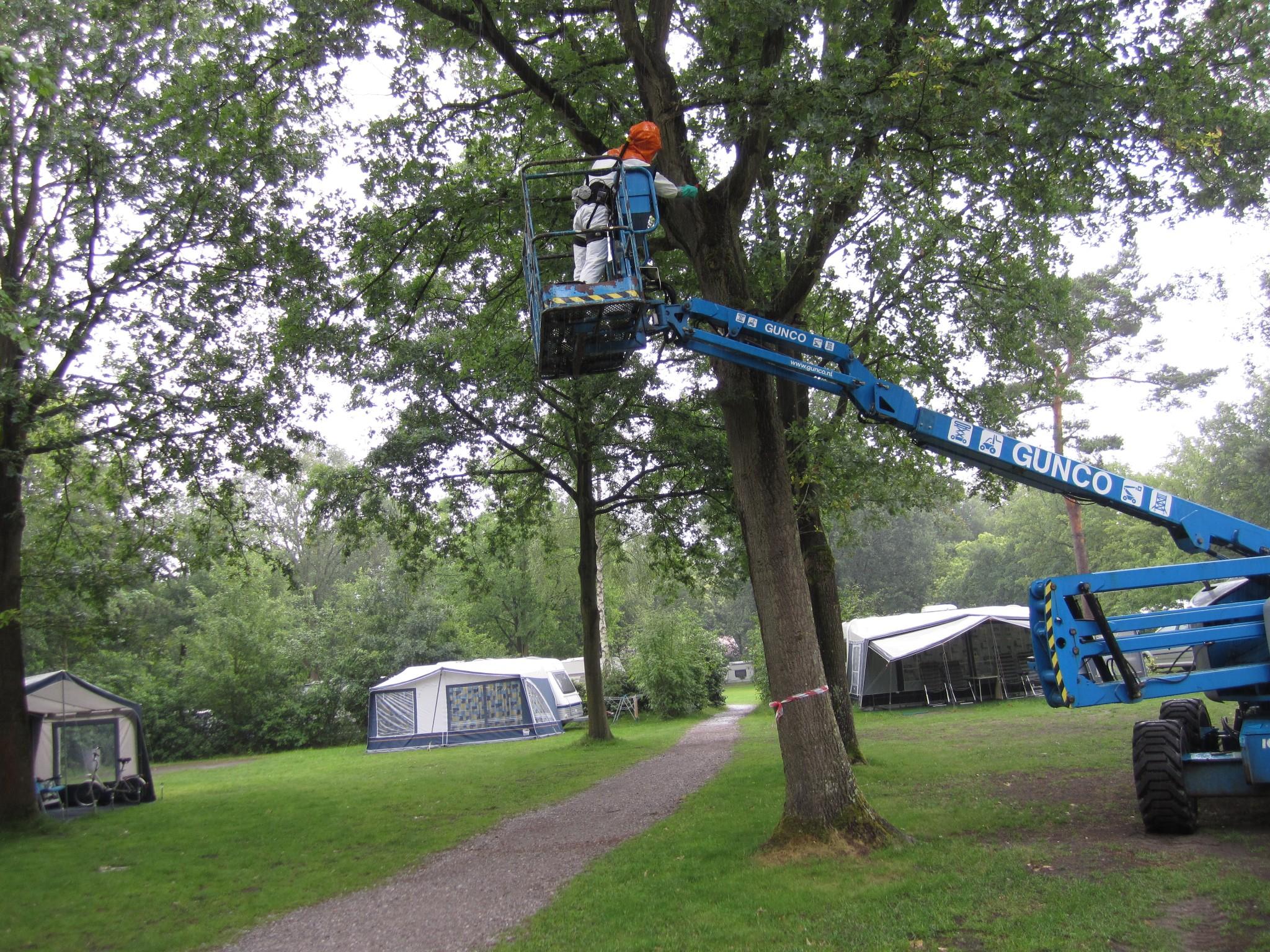Photo: Eiken prosessierups bestrijding door snijderboomverzorging d.m.v brandtechnieken met hoogwerker, op camping in hoeven. (Brabant