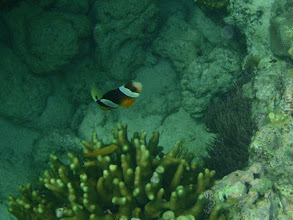 Photo: Amphiprion clarkii (Clarkii Clownfish) Heteractis crispa (Sebae Anemone), Siquijor Island, Philippines