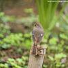 Phoenicurus auroreus 北紅尾鴝 - female