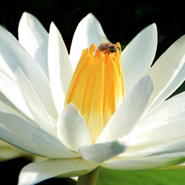 Bee on Water Lily by Margie Troyer - Flowers Single Flower (  )