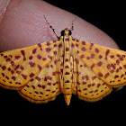 Red-spotted sweetpotato moth