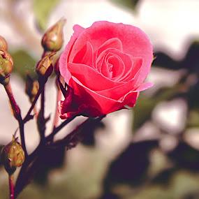 pink rose by Yılmz Doğn - Flowers Single Flower