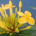 Yellow Ixora