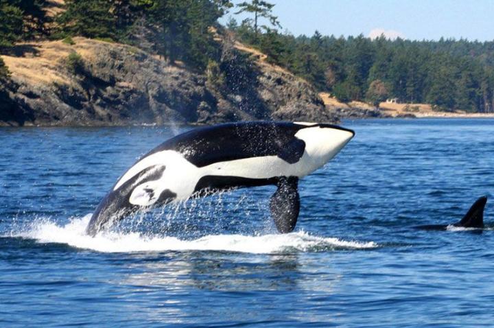 San Juan Whale Watching Tour, Seattle