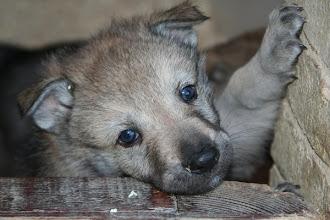 Photo: antares sibillini wolf